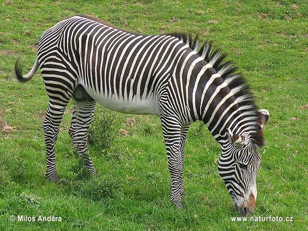 IMAGE(http://www.naturephoto-cz.eu/photos/andera/grevy%27s-zebra--5652.jpg)
