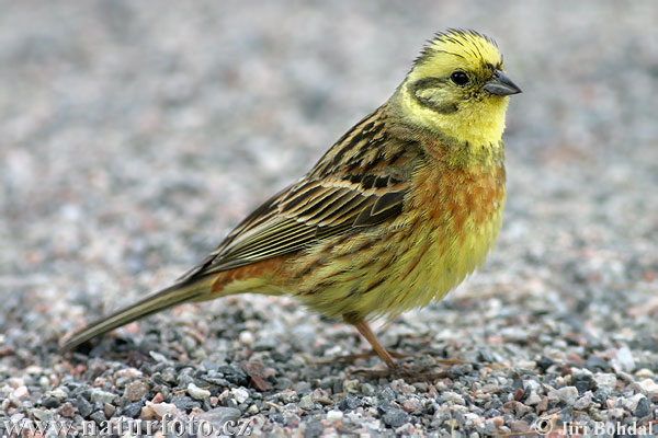 Yellowhammer bird wallpaper