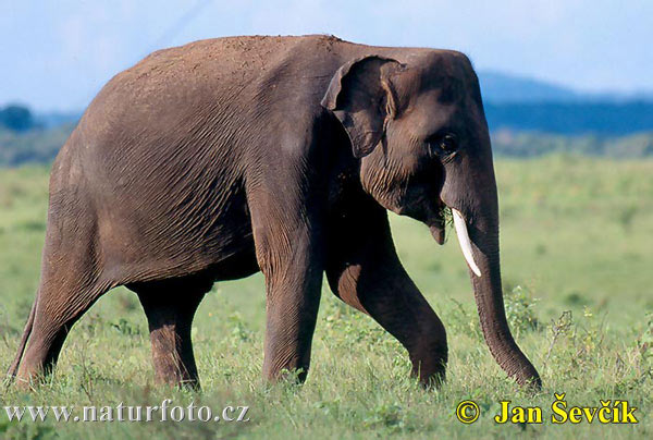 asian-elephant--elephas-maximus-1.jpg (600×404)