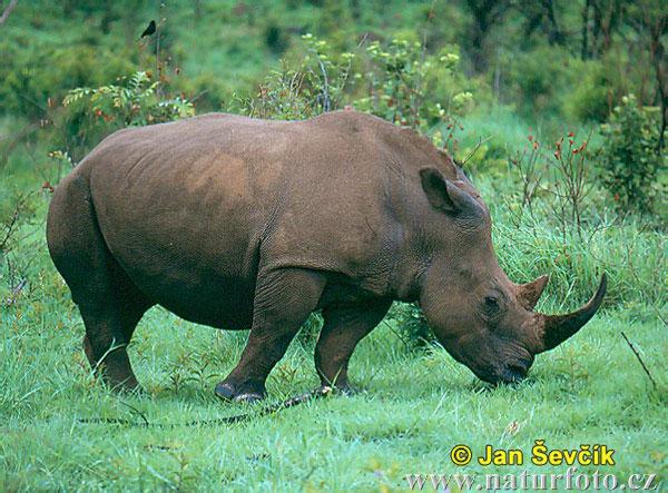 Rhinoceros-Photos